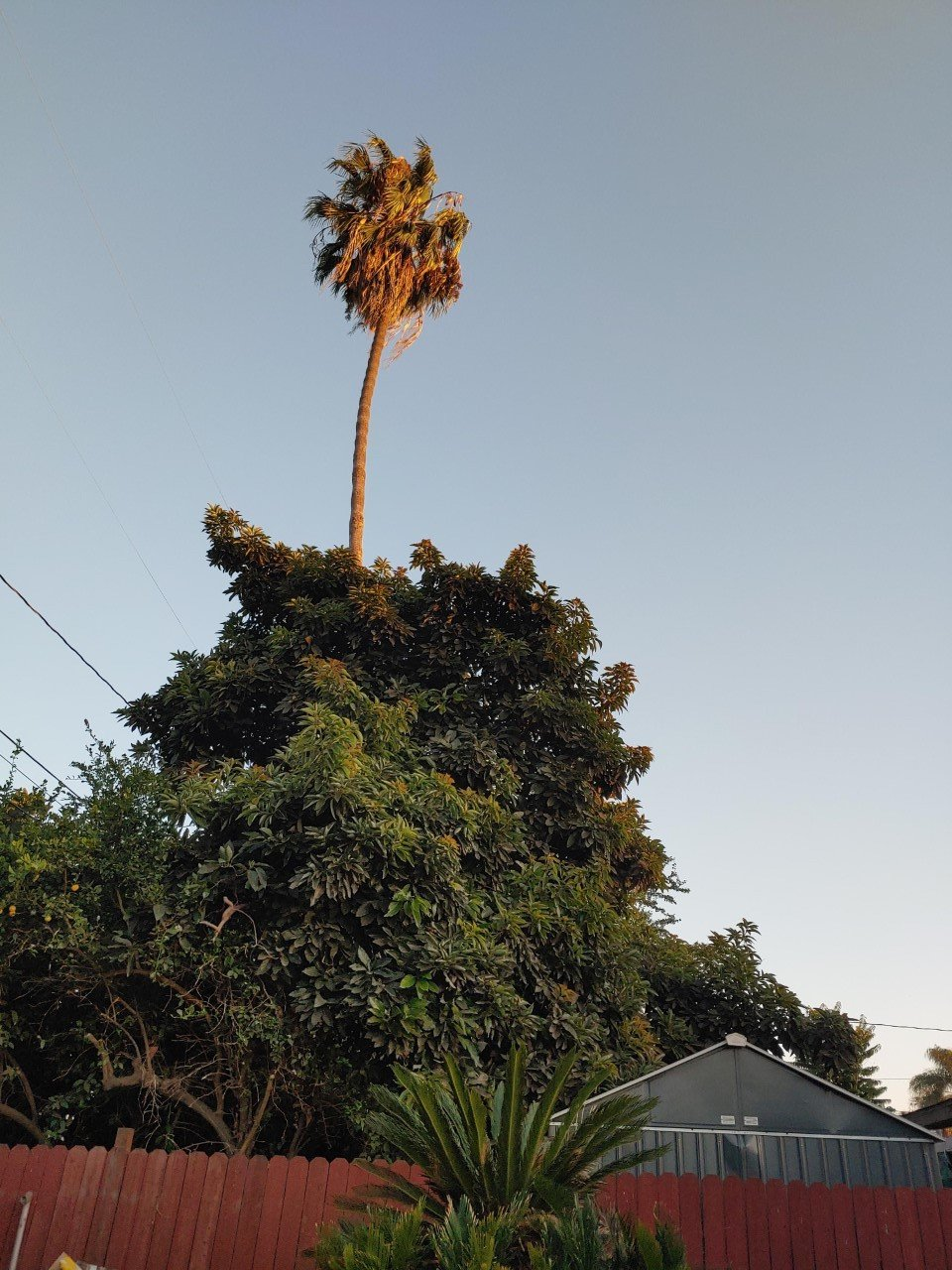 Palm tree in Compton