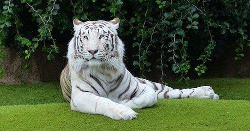 white tiger lying down